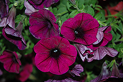 Good And Plenty™ Purple Petunia (Petunia 'Good And Plenty Purple') at Culver's Garden Center