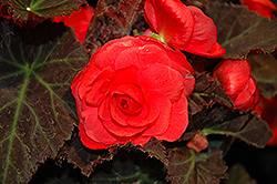 Nonstop® Mocca Cherry Begonia (Begonia 'Nonstop Mocca Cherry') at Culver's Garden Center