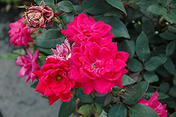 Red Double Knock Out Rose (Rosa 'Red Double Knock Out') at Culver's Garden Center
