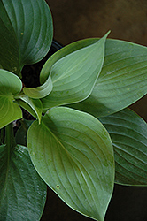 Empress Wu Hosta (Hosta 'Empress Wu') at Culver's Garden Center