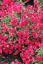 Candy Showers Rose Snapdragon (Antirrhinum majus 'Candy Showers Rose') at Culver's Garden Center