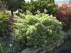 Emerald Gaiety Wintercreeper (Euonymus fortunei 'Emerald Gaiety') at Culver's Garden Center