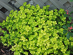Golden Oregano (Origanum vulgare 'Aureum') at Culver's Garden Center