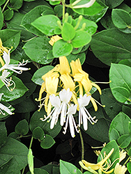 Hall's Japanese Honeysuckle (Lonicera japonica 'Halliana') at Culver's Garden Center