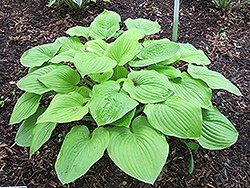 August Moon Hosta (Hosta 'August Moon') at Culver's Garden Center