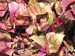 Purple Wandering Jew (Tradescantia fluminensis 'Purple') at Culver's Garden Center