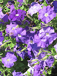 Surfinia® Sky Blue Petunia (Petunia 'Surfinia Sky Blue') at Culver's Garden Center