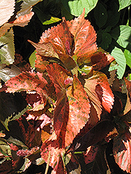 Bronze Pink Copper Plant (Acalypha wilkesiana 'Bronze Pink') at Culver's Garden Center