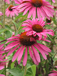 Ruby Star™ Coneflower (Echinacea purpurea 'Rubinstern') at Culver's Garden Center