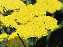 Moonshine Yarrow (Achillea 'Moonshine') at Culver's Garden Center