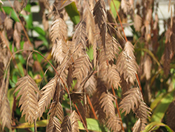 Northern Sea Oats (Chasmanthium latifolium) at Culver's Garden Center