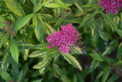 Double Play® Painted Lady® Spirea (Spiraea japonica 'Minspi') at Culver's Garden Center