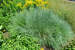 Prairie Blues Bluestem (Schizachyrium scoparium 'Prairie Blues') at Culver's Garden Center