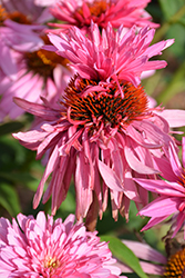 Double Decker Coneflower (Echinacea purpurea 'Double Decker') at Culver's Garden Center
