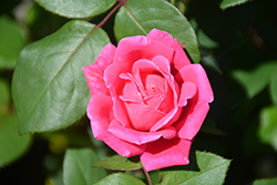 Pink Double Knock Out® Rose (Rosa 'Radtkopink') at Culver's Garden Center