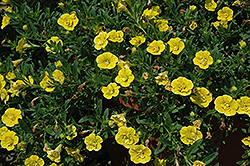 MiniFamous® Double Deep Yellow Calibrachoa (Calibrachoa 'MiniFamous Double Deep Yellow') at Culver's Garden Center