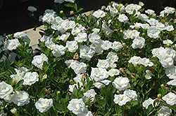 MiniFamous® Double White Calibrachoa (Calibrachoa 'MiniFamous Double White') at Culver's Garden Center