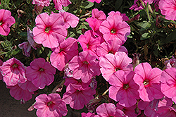 Potunia Plus Pinkalicious Petunia (Petunia 'Potunia Plus Pinkalicious') at Culver's Garden Center
