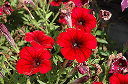 Crazytunia® Red Blues Petunia (Petunia 'Crazytunia Red Blues') at Culver's Garden Center