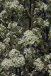 Chanticleer Ornamental Pear (Pyrus calleryana 'Chanticleer') at Culver's Garden Center
