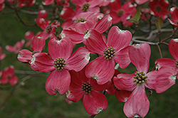 Cherokee Chief Flowering Dogwood (Cornus florida 'Cherokee Chief') at Culver's Garden Center