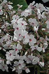 Amazing Grace Moss Phlox (Phlox subulata 'Amazing Grace') at Culver's Garden Center