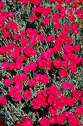 Frosty Fire Pinks (Dianthus 'Frosty Fire') at Culver's Garden Center