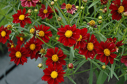 Mercury Rising Tickseed (Coreopsis 'Mercury Rising') at Culver's Garden Center