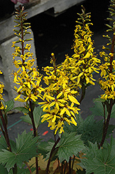 Little Rocket Rayflower (Ligularia 'Little Rocket') at Culver's Garden Center