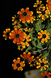 Prairie Glow Brown Eyed Susan (Rudbeckia triloba 'Prairie Glow') at Culver's Garden Center