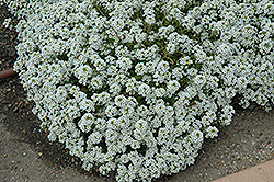 Clear Crystal White Sweet Alyssum (Lobularia maritima 'Clear Crystal White') at Culver's Garden Center