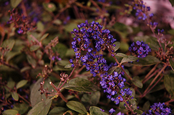 Lo And Behold® Blue Chip Junior Dwarf Butterfly Bush (Buddleia 'Lo And Behold Blue Chip Junior') at Culver's Garden Center