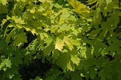 Princeton Gold Maple (Acer platanoides 'Princeton Gold') at Culver's Garden Center
