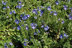 Tidal Pool Speedwell (Veronica 'Tidal Pool') at Culver's Garden Center