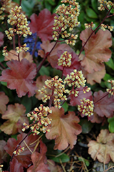 Blondie Coral Bells (Heuchera 'Blondie') at Culver's Garden Center