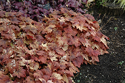 Sweet Tea Foamy Bells (Heucherella 'Sweet Tea') at Culver's Garden Center