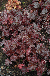 Black Taffeta Coral Bells (Heuchera 'Black Taffeta') at Culver's Garden Center
