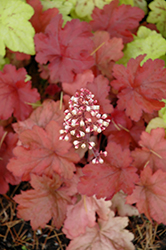 Fire Alarm Coral Bells (Heuchera 'Fire Alarm') at Culver's Garden Center