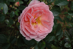 Apricot Drift® Rose (Rosa 'Meimirrote') at Culver's Garden Center