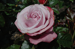 Barbra Streisand Rose (Rosa 'WEKquaneze') at Culver's Garden Center