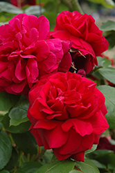 Tess Of The D'Urbervilles Rose (Rosa 'Tess Of The D'Urbervilles') at Culver's Garden Center