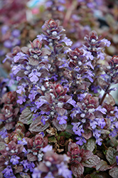 Bronze Beauty Bugleweed (Ajuga reptans 'Bronze Beauty') at Culver's Garden Center