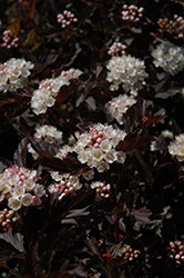 Tiny Wine® Ninebark (Physocarpus opulifolius 'SMPOTW') at Culver's Garden Center