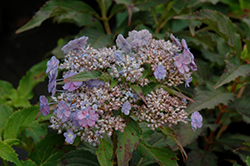 Tiny Tuff Stuff™ Hydrangea (Hydrangea serrata 'MAKD') at Culver's Garden Center