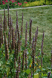 Little Adder Hyssop (Agastache rugosa 'Little Adder') at Culver's Garden Center