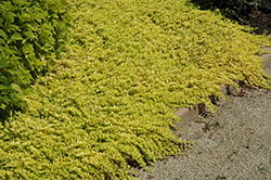 Goldilocks Creeping Jenny (Lysimachia nummularia 'Goldilocks') at Culver's Garden Center