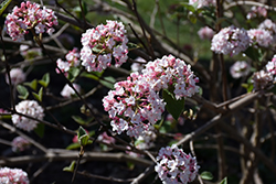 Koreanspice Viburnum (Viburnum carlesii) at Culver's Garden Center