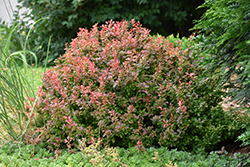 Admiration Japanese Barberry (Berberis thunbergii 'Admiration') at Culver's Garden Center