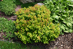 Limoncello™ Barberry (Berberis thunbergii 'BailErin') at Culver's Garden Center