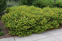 Ames St. John's Wort (Hypericum kalmianum 'Ames') at Culver's Garden Center